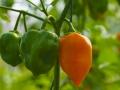 chilesverdesynaranjascombinados