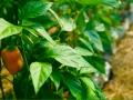 plantaychile